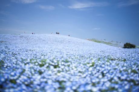 Hitachi Seaside Park 2015 #7 (by kobaken++)